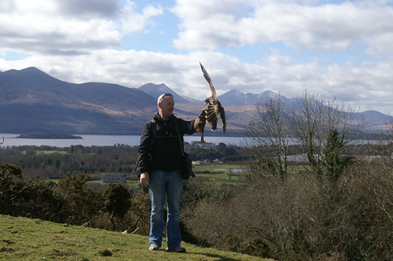 White Tailed Sea Eagle Killarney